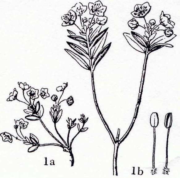 Devil's Plant