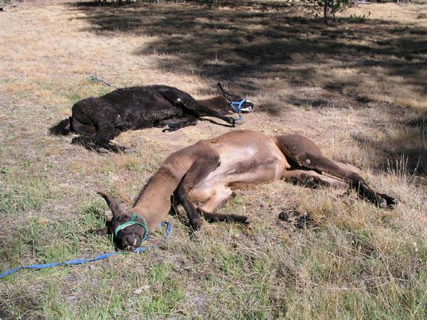 Fallen Llamas
